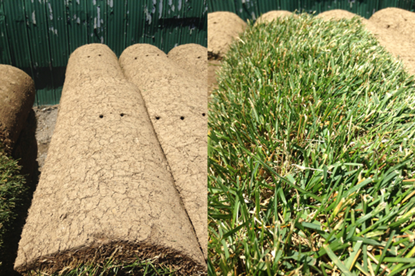 Establishing New Sod Greenhorizons Sod Grass Turf Green Lawn Install