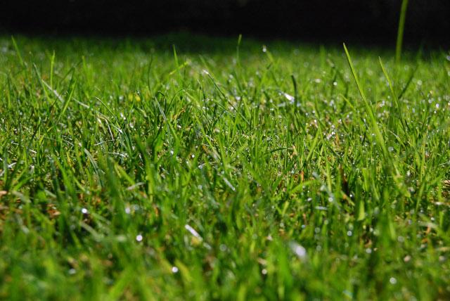 Premium Bluegrass Grass Turf Green Lawn Install